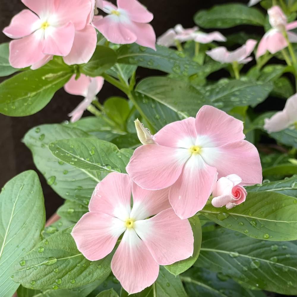 淡いピンク色の珍しい日々草「みさき」