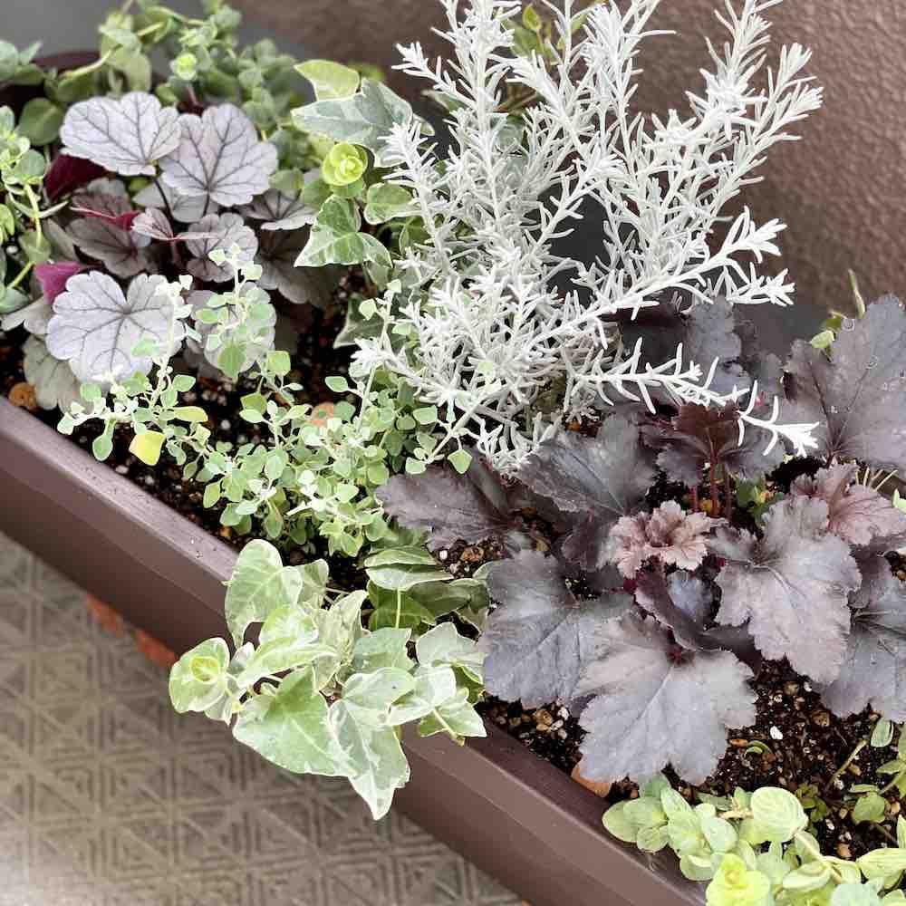 初ヒューケラで秋のカラーリーフ寄せ植えを作りました。